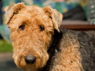 Race de chien : Airedale Terrier. Image du chien brun de face.