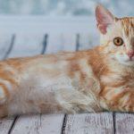 Race de chat : American Bobtail allongé sur le flanc.