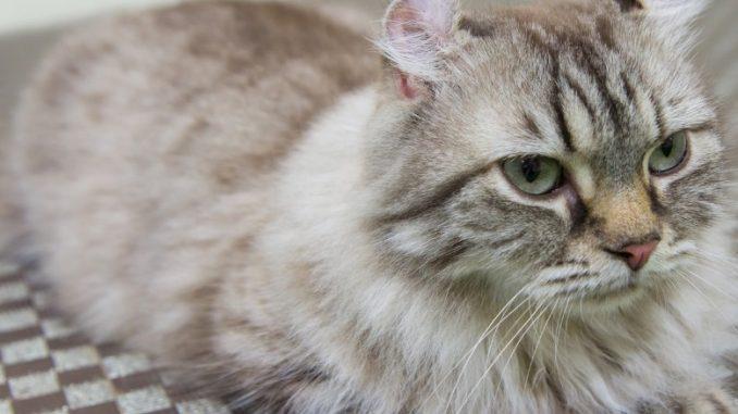 Race de chat : American Curl, sur la photo gris allongé sur le ventre.