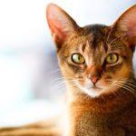 chat de race abyssin de couleur rousse et yeux jaunes