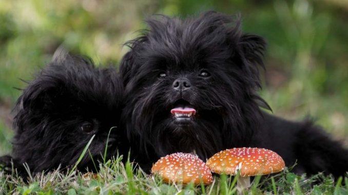 chien de race affenpinscher petits et noirs poils longs