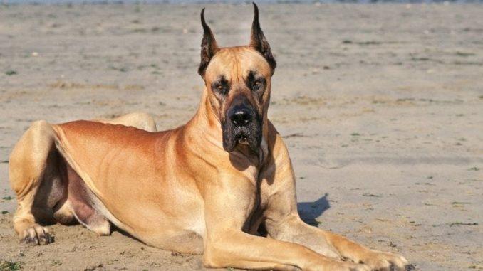 les races de chiens les plus grandes chien couché par terre