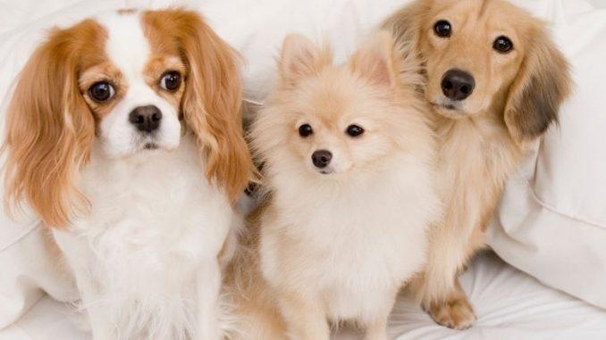 Les 5 races des plus petits chiens du monde. De gauche à droite : Cavalier King Charles, Spitz Nain et Teckel.