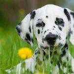 le dalmatien un chien élégant tacheté de noir