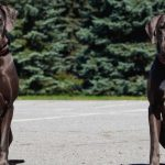 le dogue allemand un chien impressionnant