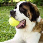 le saint bernard un chien imposant