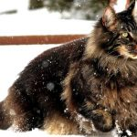 les races de chats les plus grands au monde maincoon