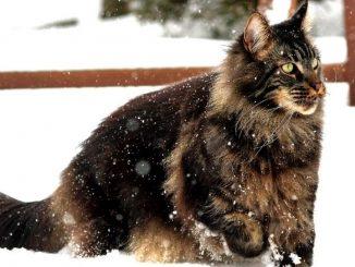 les races de chats les plus grands au monde maincoon